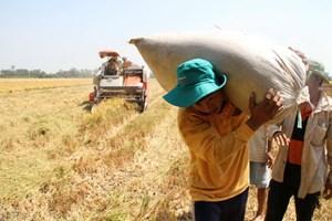 Giá lúa giảm, nông dân mòn mỏi chờ thương lái