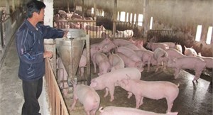 Giá thịt lợn hơi tăng từng giờ, nguồn cung lại khan hiếm ở nội địa?