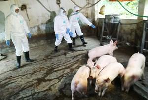 Hà Nội: Phát hiện thêm điểm có bệnh dịch tả lợn châu Phi
