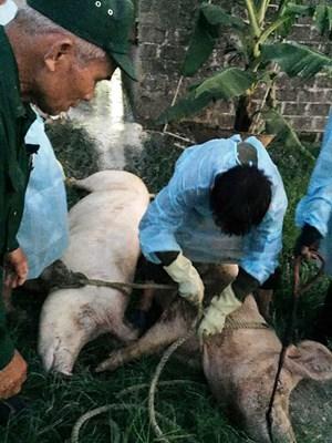 Hà Tĩnh: Phát hiện thêm ổ dịch tả lợn châu Phi ở thị trấn Thiên Cầm