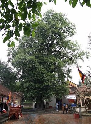 Hai cây thị khổng lồ được công nhận cây di sản