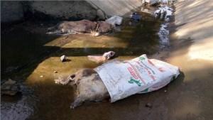 Hàng chục xác lợn chết bốc mùi nồng nặc trên kênh dân sinh