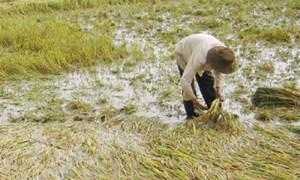 Hậu Giang thiệt hại hơn 2.000 ha lúa do mưa bão