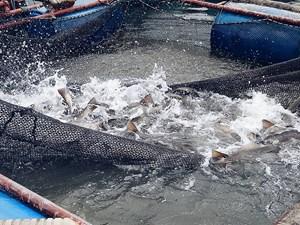 Hiệu quả từ việc nuôi cá lồng