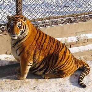 Hổ béo tròn sau Tết gây sốt