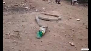 Hổ mang chúa quằn quại nôn ra chai nhựa ở Ấn Độ