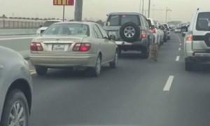 Hổ thản nhiên đi dạo trên cao tốc Qatar
