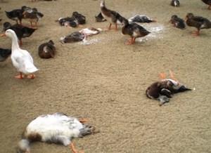 Hoang mang vì hàng trăm con vịt chết không rõ nguyên nhân