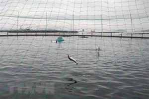 Hơn 10.000 tấn cá hồi ở Na Uy bị chết do loại tảo Chrysochromulina
