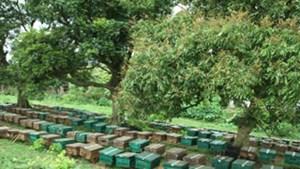 Hưng Yên: Sản lượng mật ong hoa nhãn đạt khoảng 100 tấn/năm