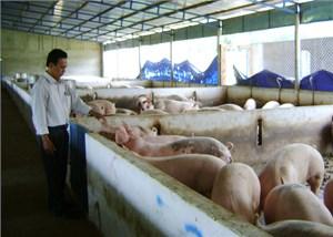 Kêu gọi doanh nghiệp giải cứu ngành chăn nuôi lợn