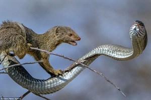 Khắc tinh của loài rắn