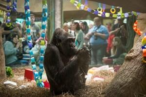 Khỉ đột già nhất thế giới qua đời ở tuổi 60