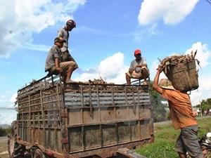 Kiểm soát sắn tươi nhập từ Lào và Campuchia ngừa virus nguy hiểm