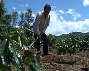 Kon Tum: Hỗ trợ phát triển cây cà phê xứ lạnh