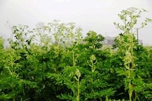 Kon Tum phát triển gần 400 ha cây dược liệu