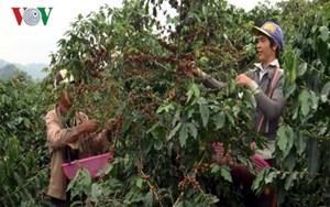 Kon Tum: Xuất hiện bọ cánh cứng gây hại cây cà phê