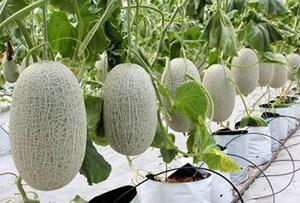 Kỹ thuật trồng dưa lưới