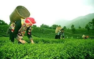 Lai Châu: Đầu tư phát triển cây chè