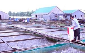 Làm giàu từ mô hình nuôi cá thát lát trên Sông Hậu
