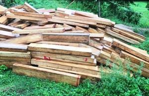 Lâm tặc tàn phá rừng pơ mu khủng