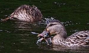 Kỳ lạ phát hiện hành vi vịt ăn thịt chim
