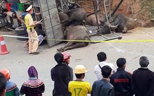 Lào Cai: Lật xe tải chở trâu, 3 người chết và bị thương