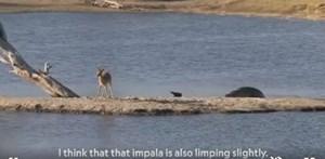 Linh dương chết thảm trong vòng vây của cá sấu và hà mã