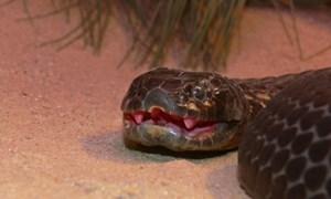 Nọc độc loài rắn hổ khiến con mồi không thể kháng cự