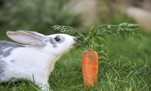 Loài thỏ cùng sở thích ăn cà rốt?