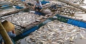 Lộc Hà-Hà Tĩnh: Cá chết hàng loạt chưa rõ nguyên nhân