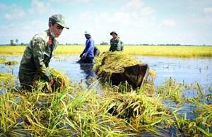 Long An: Bộ đội giúp dân gặt lúa chạy lũ