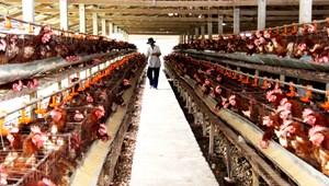 Long An: Ngành chăn nuôi gặp khó
