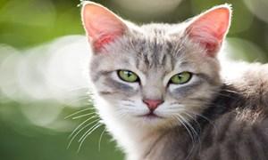 Mèo trở thành thú nuôi của người từ 10.000 năm trước