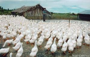 Mối lo của ngành chăn nuôi: Mạnh ai nấy làm