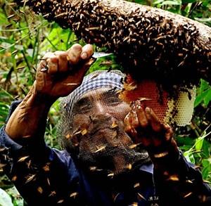 Mùa con ong đi lấy mật