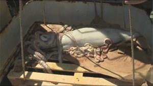 Mực khổng lồ dài 5,5 mét sa lưới ngư dân