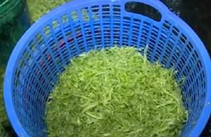 Ngâm rau muống vào hóa chất độc hại để xanh tươi lâu
