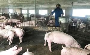 Nghệ An: Xuất hiện thêm 2 ổ dịch tả lợn Châu Phi