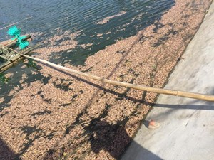 [NGHI VẤN] 30 vạn con tôm chết nghi do bị đầu độc