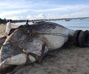Ngư dân Bình Thuận chôn cá voi nặng gần 15 tấn