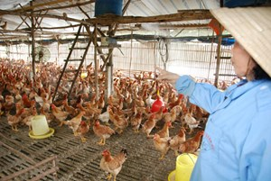 Người chăn nuôi gà lao đao