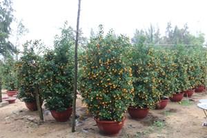 Người trồng quất ở Hội An bội thu