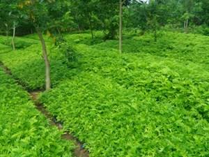 Nhiều ưu đãi cho người nuôi trồng, khai thác dược liệu