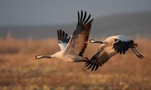 Những loài chim bay cao nhất thế giới
