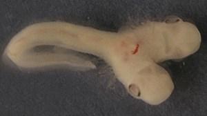 Phát hiện phôi cá mập 2 đầu cực hiếm