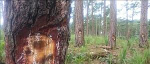 Phục dựng hiện trường vụ đầu độc rừng thông tại Lâm Đồng