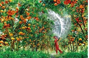 Qua miền quả ngọt
