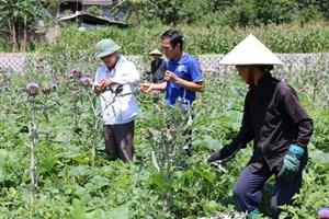 Quản Bạ - Hà Giang: Phát huy thế mạnh cây dược liệu