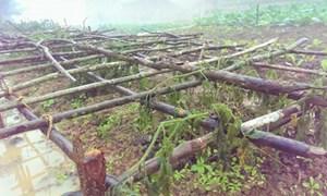Quảng Bình: 4.500ha cây lương thực, hoa màu thiệt hại nặng do rét